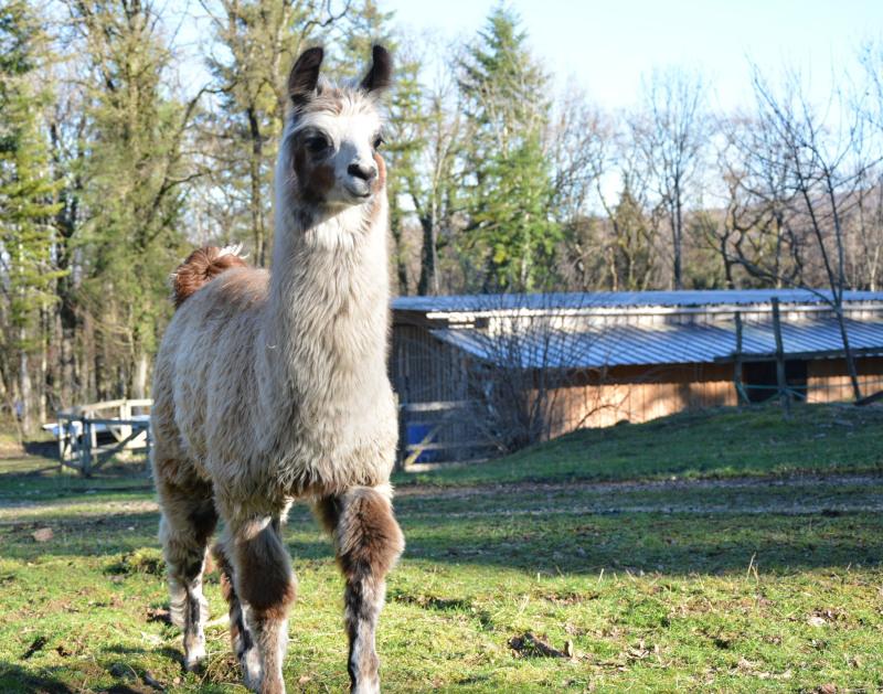 ferme des lamas